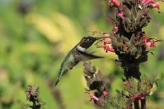 Kolibrie en bloem stock afbeelding