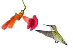 Kolibrie en de bloem van een trompetwijnstok Stock Fotografie