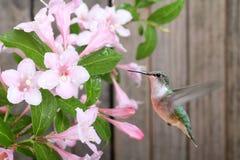 Kolibrie en Kamperfoelie royalty-vrije stock afbeeldingen