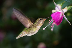 Kolibrie en koninginfuchsia Stock Fotografie