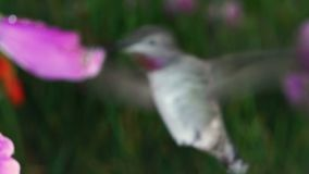 Kolibrie en mier met digitalis op regenachtige dag stock footage