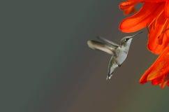 Kolibrie en Oranje Bloem Royalty-vrije Stock Afbeeldingen