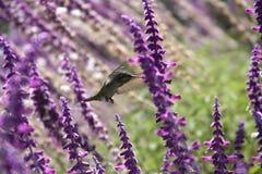 Kolibrie en purpere bloemen Royalty-vrije Stock Foto