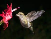 Kolibrie en rode bloem met donker Ra van het achtergrondbrievenaspect Royalty-vrije Stock Afbeeldingen