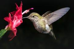 Kolibrie en rode bloem met donkere achtergrond Royalty-vrije Stock Fotografie