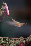 Kolibrie en roze bloemen royalty-vrije stock foto's