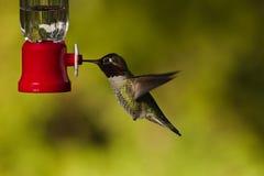 Kolibrie en voeder. Stock Afbeeldingen