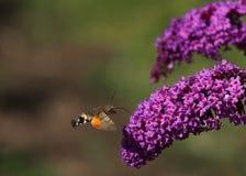 Kolibrie havik-mot royalty-vrije stock afbeeldingen