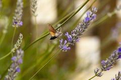 Kolibrie havik-mot Royalty-vrije Stock Fotografie