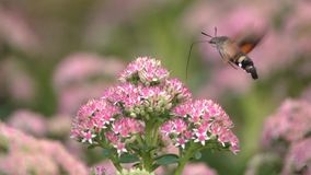 Kolibrie havik-mot stock footage