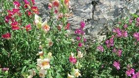 Kolibrie havik-mot bij Leeuwebekbloem het bloeien stock video