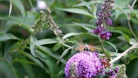 Kolibrie havik-mot het drinken nectar in roze Buddleja-bloem stock footage