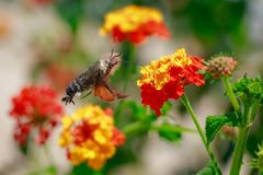 Kolibrie havik-mot het voeden op bloemen stock fotografie