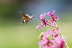 Kolibrie havik-mot Macroglossum-stellatarum het voeden op roze F stock fotografie