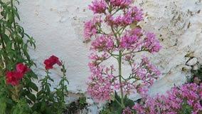 Kolibrie havik-mot op de rode bloem van valeriaancentranthus ruber ook genoemd geworden aansporingsvaleriaan, kus-me-snel, vos` s stock video