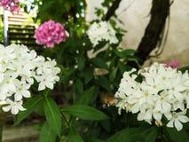 Kolibrie Hawk Moth royalty-vrije stock fotografie