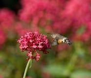 Kolibrie Hawkmoth stock afbeeldingen