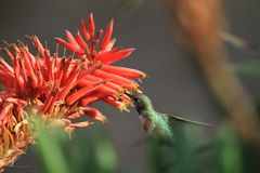 Kolibrie het drinken nectar Stock Afbeelding