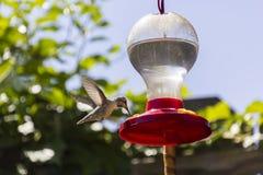 Kolibrie het Drinken van een Voeder Royalty-vrije Stock Foto's