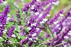 Kolibrie het drinken van Mexicaanse wijze bloemen royalty-vrije stock foto