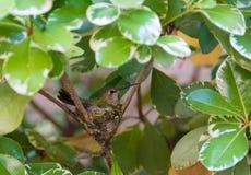 Kolibrie in het Nest Stock Afbeeldingen