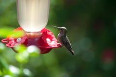 Kolibrie het Rusten Stock Foto's