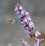 Kolibrie het voeden. Stock Afbeeldingen