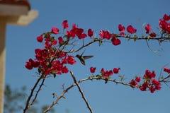 Kolibrie het voeden Stock Foto