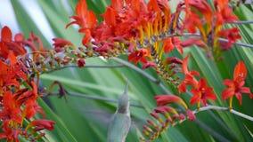 Kolibrie het voeden stock videobeelden