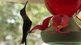 Kolibrie het voeden stock video
