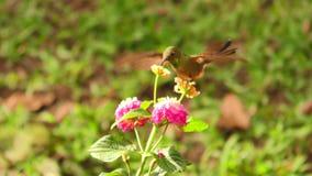 Kolibrie het Voeden van Bloemstuifmeel stock video