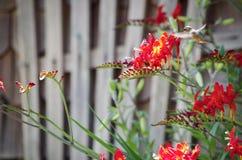 Kolibrie het Voeden van Coppertips Stock Afbeeldingen