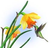 Kolibrie met Gele narcissen - met het knippen van weg Stock Afbeeldingen