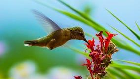 Kolibrie met mooie rode bloei Het wildscène van aard stock foto's