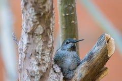 Kolibrie in Nest Royalty-vrije Stock Afbeelding
