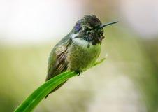 Kolibrie onbeweeglijk Stock Afbeeldingen