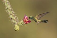 Kolibrie op cactusbloem Stock Afbeelding