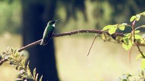 Kolibrie op een Tak wordt neergestreken die stock video