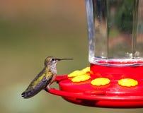 Kolibrie op een Voeder royalty-vrije stock afbeeldingen