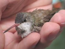 Kolibrie op hand stock afbeelding