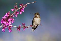 Kolibrie op Toppositie stock foto's