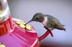 Kolibrie op voeder Stock Fotografie