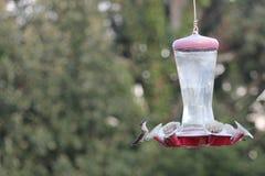Kolibrie op voeder Royalty-vrije Stock Afbeelding