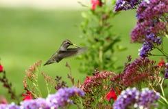 Kolibrie over bloemen Royalty-vrije Stock Afbeeldingen
