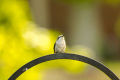 Kolibrie robijnrood-Throated Stock Afbeelding