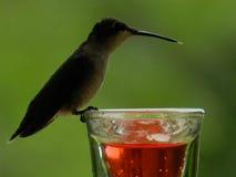 Kolibrie robijnrood-Throated royalty-vrije stock afbeelding