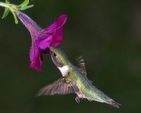Kolibrie robijnrood-Throated Royalty-vrije Stock Afbeeldingen