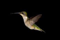 Kolibrie robijnrood-Throated Royalty-vrije Stock Fotografie