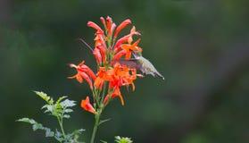 Kolibrie robijnrood-Throated Royalty-vrije Stock Foto