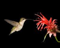 Kolibrie robijnrood-Throated en Bijenbalsem Royalty-vrije Stock Afbeeldingen